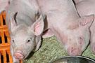 一头猪如何变成盘中餐