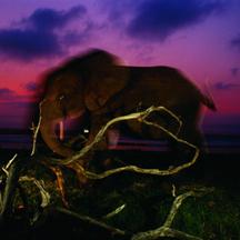 加蓬 遥控相机拍到的大象