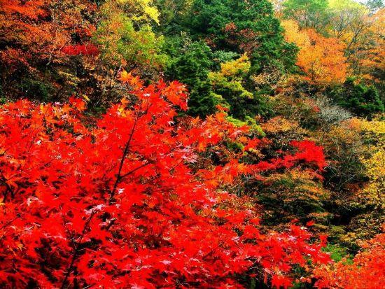 香山红叶将迎最佳观赏期 平均变色率或达90%图片