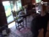 实拍野熊闯入厨房偷吃 男子淡定将其赶出门