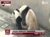 现场-全球直播大熊猫繁衍 交配时间创新高