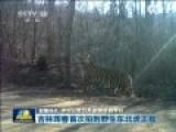 野生东北虎被拍下清晰正脸 对镜头打哈欠