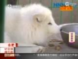 男子花七千块买萨摩 不想到手一只白狐