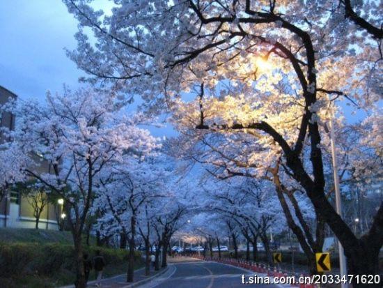 庆尚北道樱花夜景