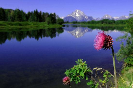 大提顿国家公园内美丽的山花于湖光山色互相掩映(8月12日摄)。