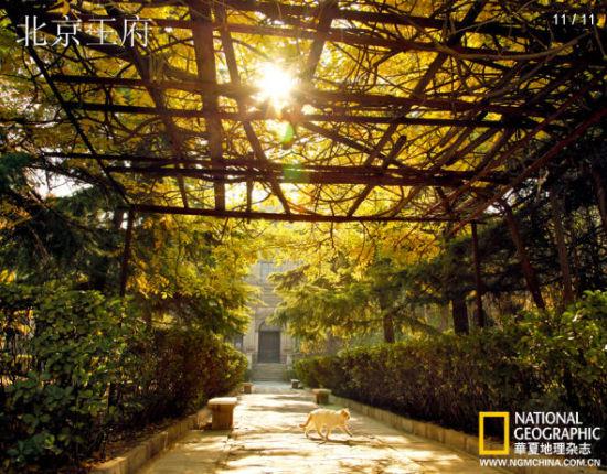 """9岁月沧桑,昔日和亲王府的旧址上,楼屋再起,紫藤架下树影婆娑,一只猫安然穿行,这是北京四合院最常见的情景,""""回廊四合掩寂寞。碧鹦鹉对红蔷薇"""",是连王府在内的京城人家所追求的一种心态和境界"""