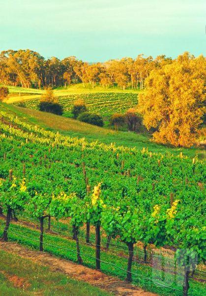 天鹅河谷的葡萄庄园,在西澳,到处都有葡萄美酒夜光杯。