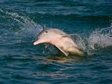 中华白海豚(钦州市三娘湾)