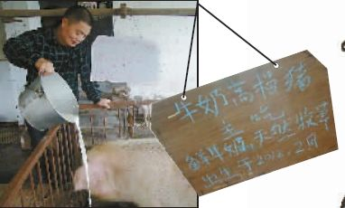 重庆增加猪肉鲜牛奶喂猪:每公斤情趣卖320元_养牛书的大户自己图片