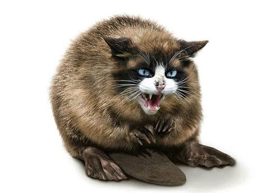 猫与河狸结合而成愤怒的Beavussy。