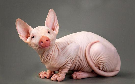 无毛斯芬克斯猫与猪结合后的生物。