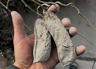 1月23日,独山村凑近碎石场的农作物被厚厚的粉尘包裹,干涸殒命。