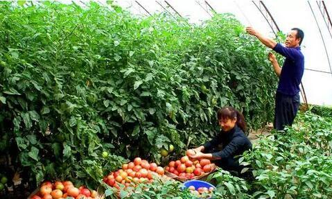 发展现代设施蔬菜