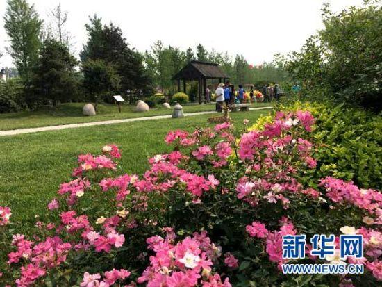 中国古老月季文化园内鲜花盛开。新华网 王萍 摄