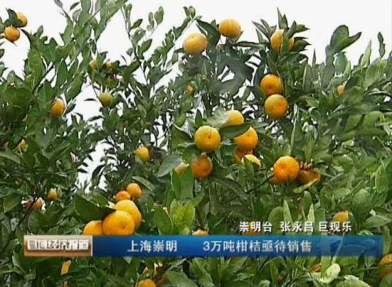 上海崇明:3万吨柑桔亟待销售_产经动态