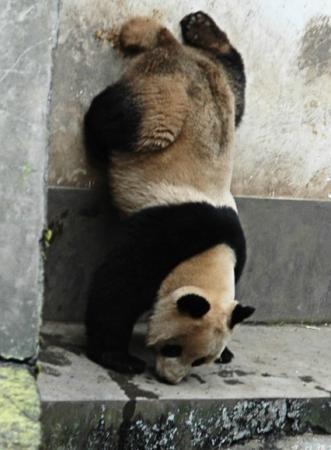 雅安的中国的世界的――友谊使者大熊猫(图)