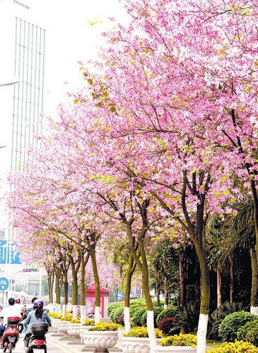 洋紫荆花盛开-柳州 春满龙城花似海
