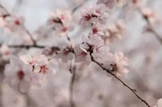 又到踏青赏花时 凤凰岭第十五届杏花节开幕