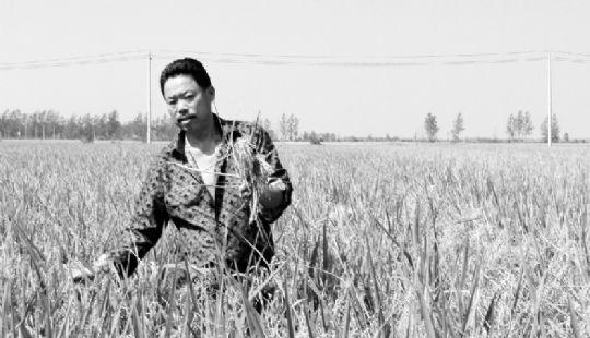 今年9月,农户拍下田地里患上稻瘟病的水稻。本报特派记者黄敏翻拍