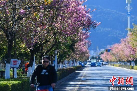 昆明街头冬樱花绽放成冬日一景