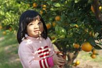 苏州东山:橘子采摘