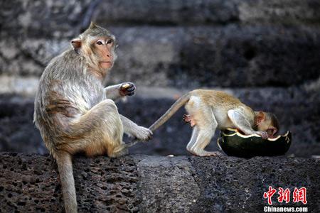 泰国办猴子宴会 猴子可享超8000斤水果蔬菜(图)