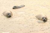 烟台海豹困在凝固的冰湖中