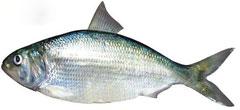 长江鲥鱼30年绝迹:水利与排污负面效应反思