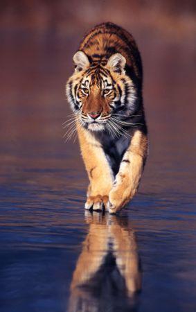 东北虎 图片来源:WWF