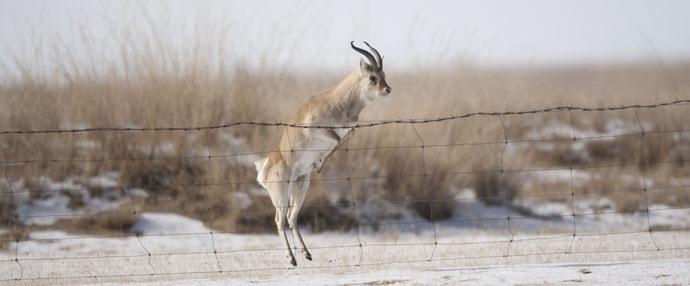 成年的普氏原羚在跳跃网围栏