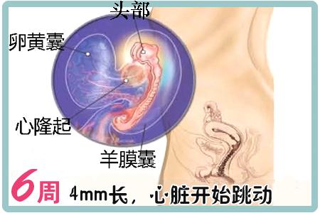 怀孕第6周胎儿图