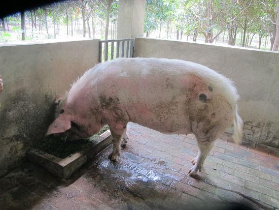 两头猪睡觉的图片-7年了,汶川地震 猪坚强 还活着 组图