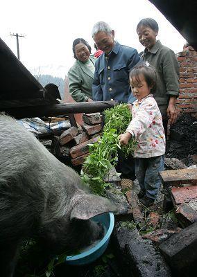 地震36天后存活的猪坚强,瘦到100多斤