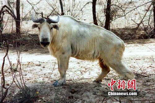 图为甘肃境内野生动物扭角羚