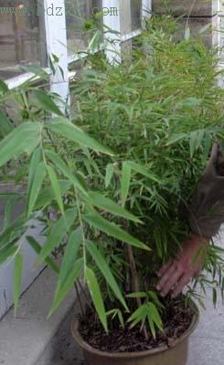 厦门植物园有种奇怪的竹子