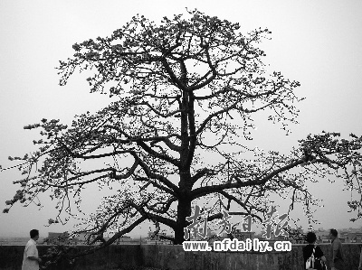 美丽木棉树图片; 一棵木棉花的简笔画