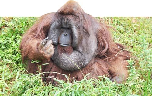 野生动物园的红毛猩猩培培喜欢向游客讨要食物