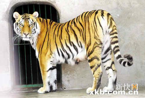 """""""东北虎幼崽首次与游客见面,憨态可爱的小虎吸引了众多游人前来探望."""