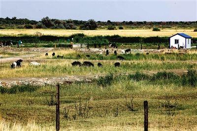 养殖场里的牲畜,均采取自然养法。