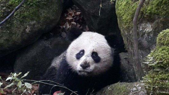 四川受伤野生大熊猫已得救治