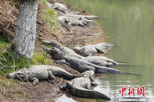扬子鳄作为国家一级保护动物,世界珍稀,濒危物种,源于2.