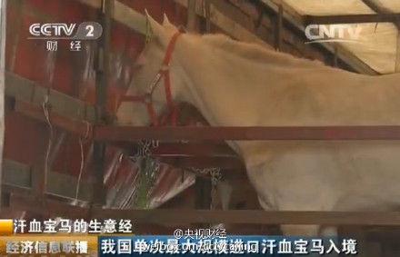 中国大规模进口汗血宝马 每匹价值上百万