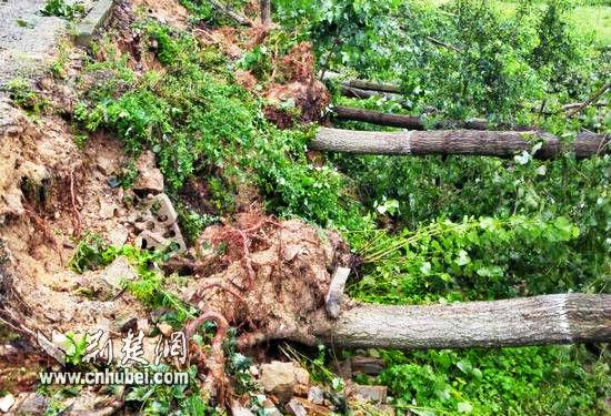200多棵碗口粗大树被连根拔起