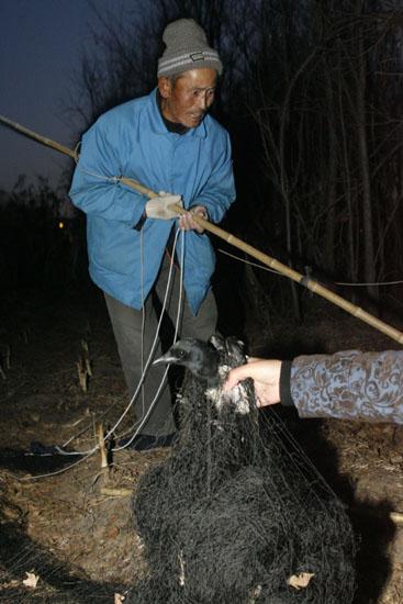 老人树林中张网捕鸟  今天在树林里遇到正在拆网的捕鸟老人,一只喜鹊图片
