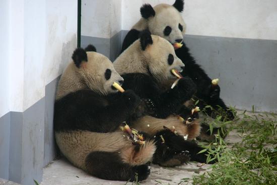 三只大熊猫在南京红山森林动物园新建的熊猫馆里享受