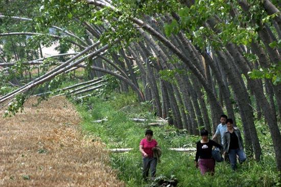 河南风雹灾害目击:成排树木被连根拔起