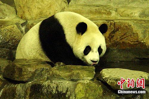 """台北市立动物园发布的新闻稿称,今天清早,园方用长竿试""""圆圆""""的"""
