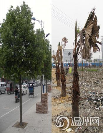 在线监督:瓯海娄东大街棕榈树大面积枯萎(图)