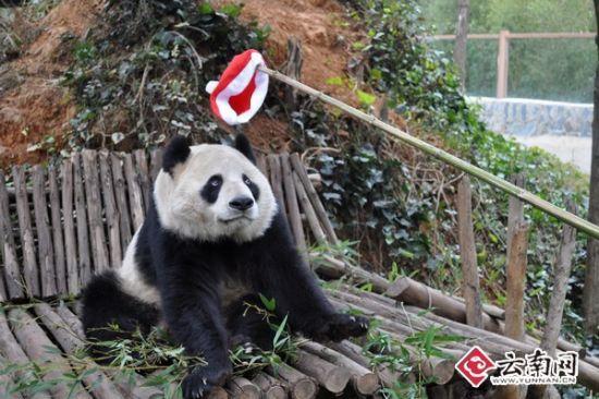 美茜:这是神马,好奇怪,拿走   云南网讯(记者 杨之辉)今年的圣诞节,云南野生动物园招募了两名圣诞老人到野生动物园过圣诞。圣诞老人不仅参与了圣诞节的准备工作,还给动物园的动物们送去节日的礼物,为过往的游客带去了浓郁的节日气息,他们自己,也过了回与众不同的圣诞节。   12月24日上午10点,2位圣诞老人来到野生动物园。其中一位圣诞老人韩昆生是小学语文教师,韩老师为了当好圣诞老人,提前做了不少准备。换上圣诞老人的衣服后,韩老师从包包里掏出一个无线扩音器。韩老师把话筒挂好,对着话筒练习起来