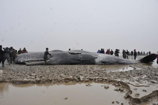 3月17日,边防官兵在给一头搁浅的抹香鲸扑水保湿。新华社发(夏俊 摄)